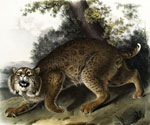 A Male Bobcat by  John James Audubon (Painting ID: AN-2300-KA)