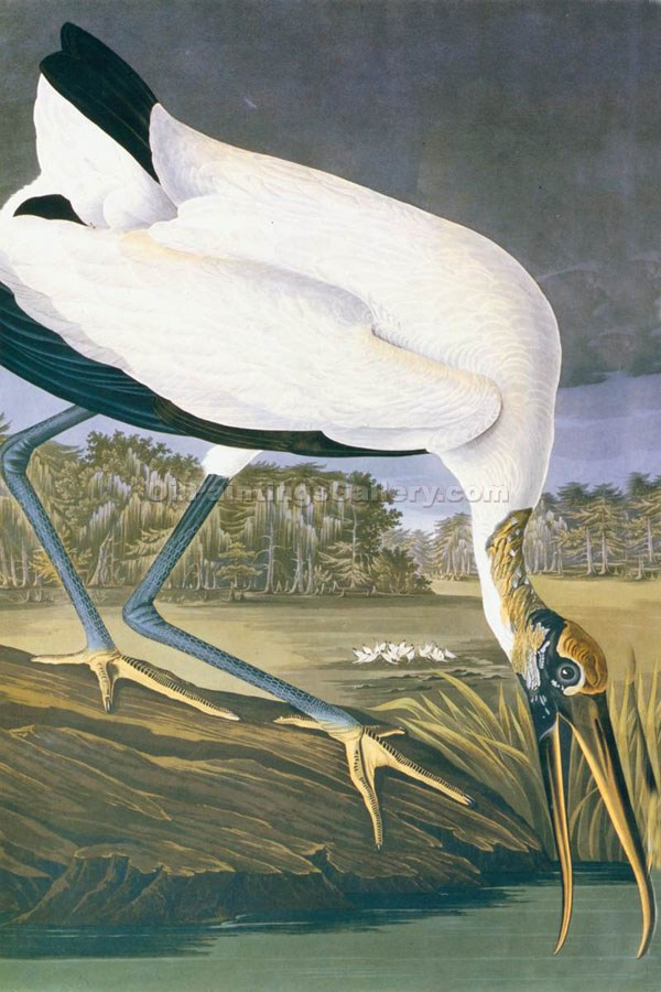 """American Stork"" by  John James Audubon"