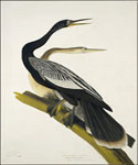 Black Bellied Darte by  John James Audubon (Painting ID: AN-0854-KA)