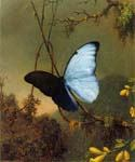 Blue Morpho Butterfly by  Martin Johnson Heade (Painting ID: AN-0850-KA)