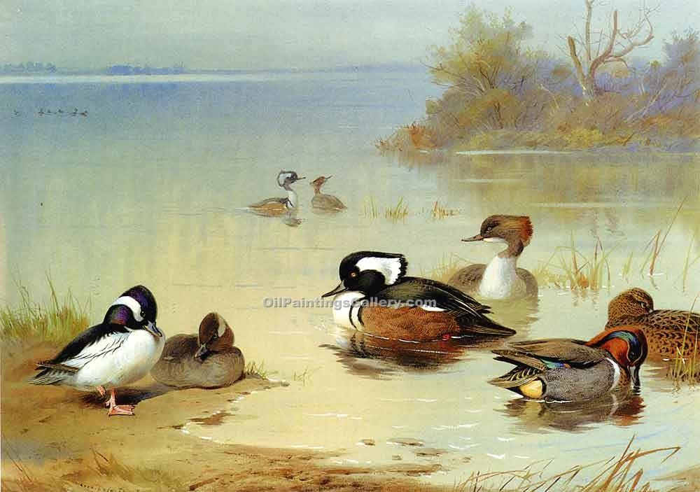 """Buffel Headed Duck"" by  Archibald Thorburn"