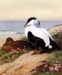 Common Eider Ducks by  Archibald Thorburn (Painting ID: AN-0987-KA)