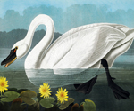Cygnus Columbianus by  John James Audubon (Painting ID: AN-0856-KA)