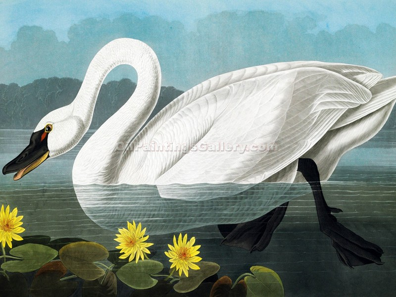 """Cygnus Columbianus"" by  John James Audubon"