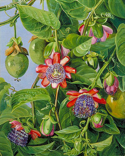 """Flowers and Fruit of the Maricojas Passion Flower"" by  Marianne North"