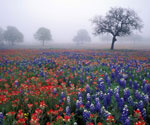 Flowers in the Fog  (Painting ID: LA-0114-KA)