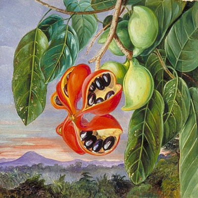 """Fruit 48"" by  Marianne North"