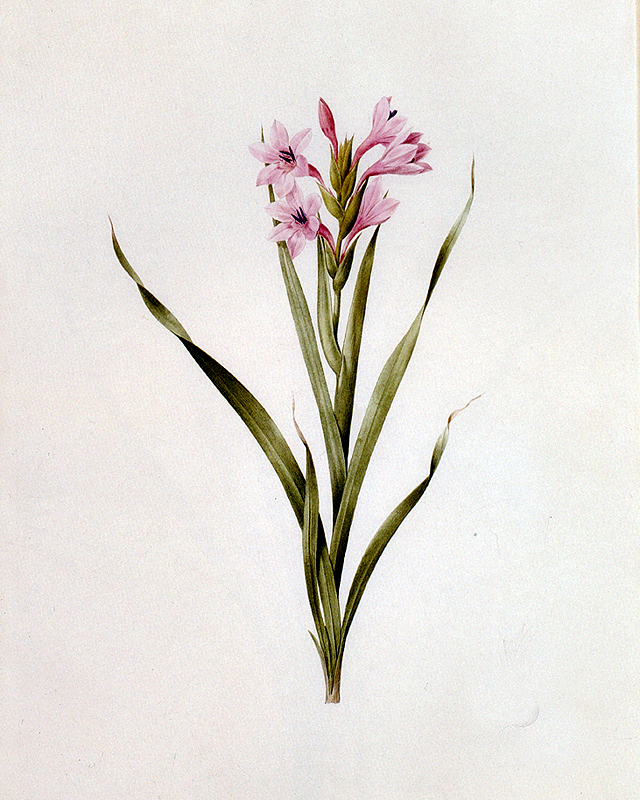 """Gladiolus Laccatus"" by  Pierre Joseph Redoute"