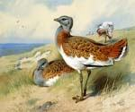 Great Bustards by  Archibald Thorburn (Painting ID: AN-0985-KA)