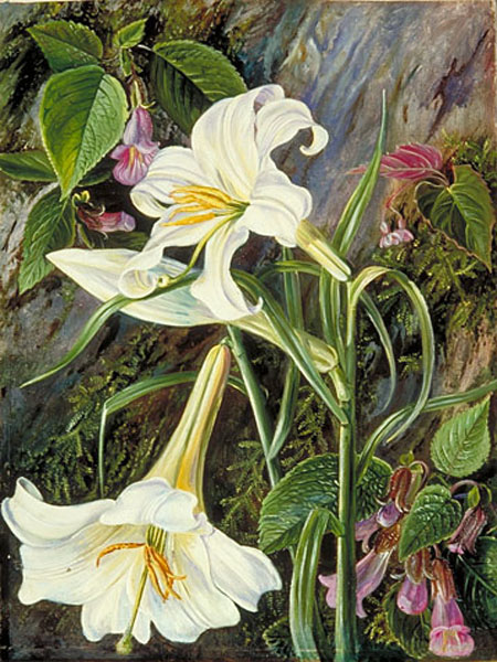 """Great Lily"" by  Marianne North"