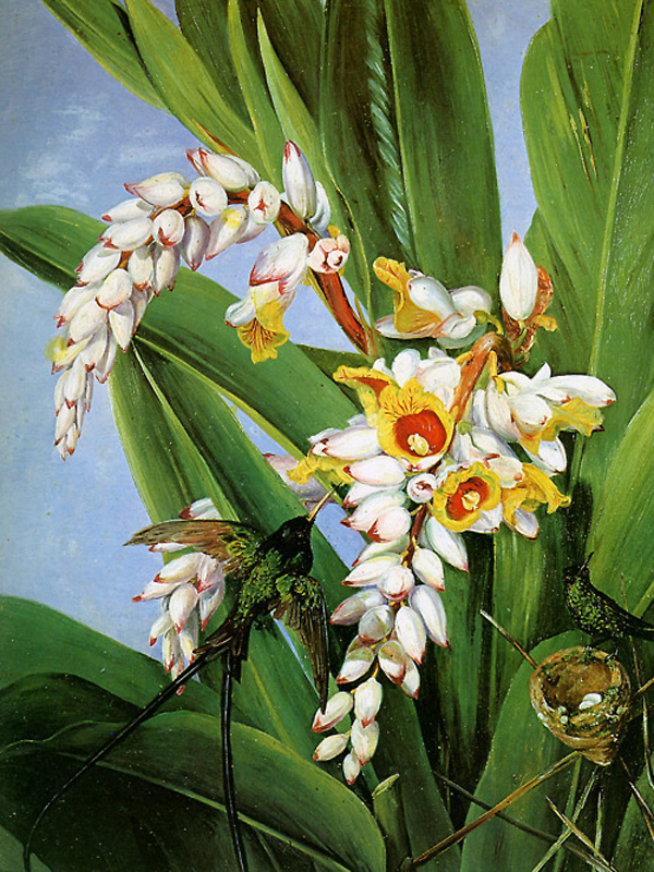 """Hummingbird"" by  Marianne North"
