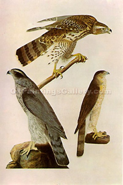 """Illustration of Accipiter Cooperi"" by  John James Audubon"