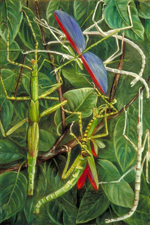 """Leaf insects and Stick Insects"" by  Marianne North"