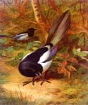 Magpies by  Archibald Thorburn (Painting ID: AN-0954-KA)