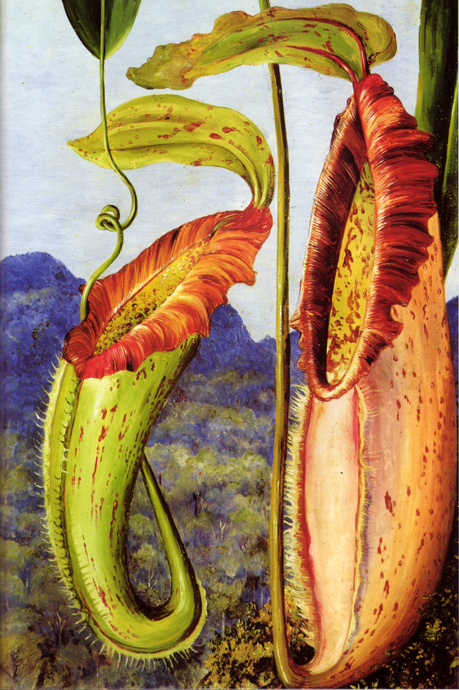 """Nepenthes Northiana"" by  Marianne North"