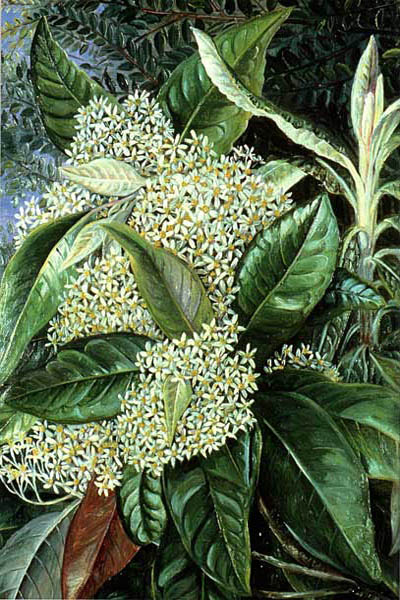 """Olearia Argophylla"" by  Marianne North"