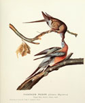 Passenger Pigeon by  John James Audubon (Painting ID: AN-0864-KA)