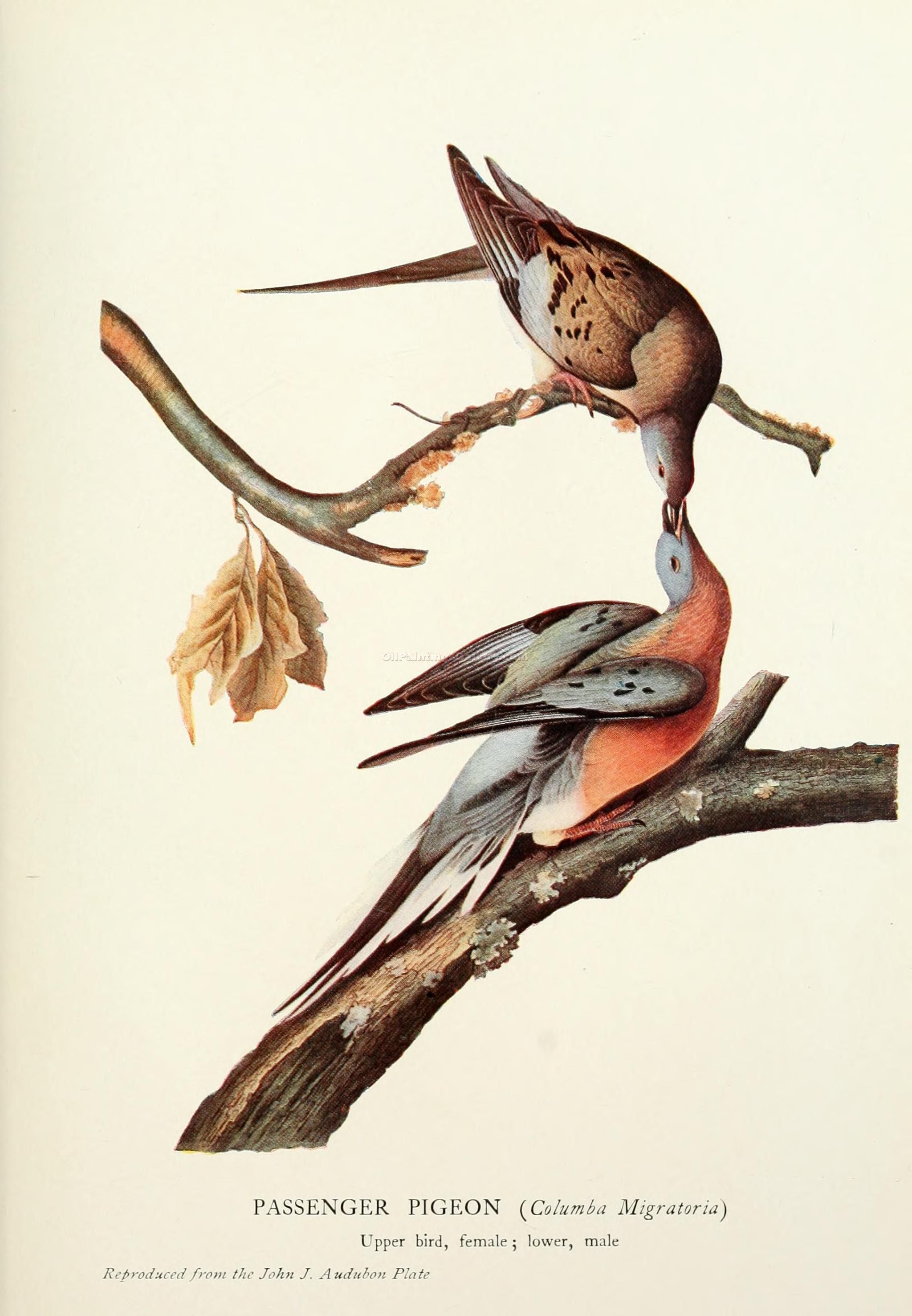 """Passenger Pigeon"" by  John James Audubon"