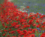 Poppy Field 60  (Painting ID: LA-0160-KA)