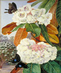 Rhododendron Falconeri by  Marianne North (Painting ID: LA-3262-KA)
