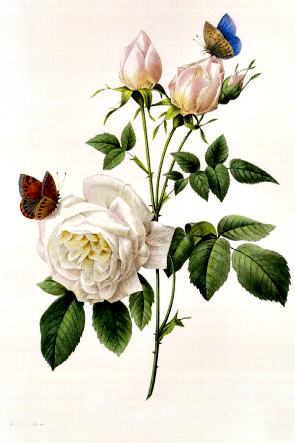 """Rosa Bengale The Hymenes"" by  Pierre Joseph Redoute"