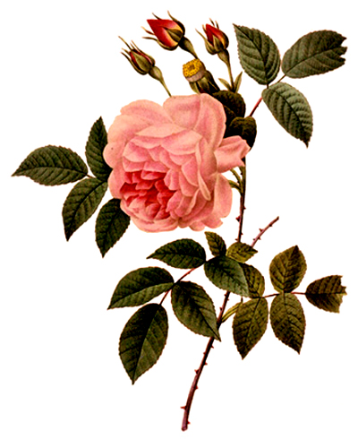"""Rosa Lindica"" by  Pierre Joseph Redoute"