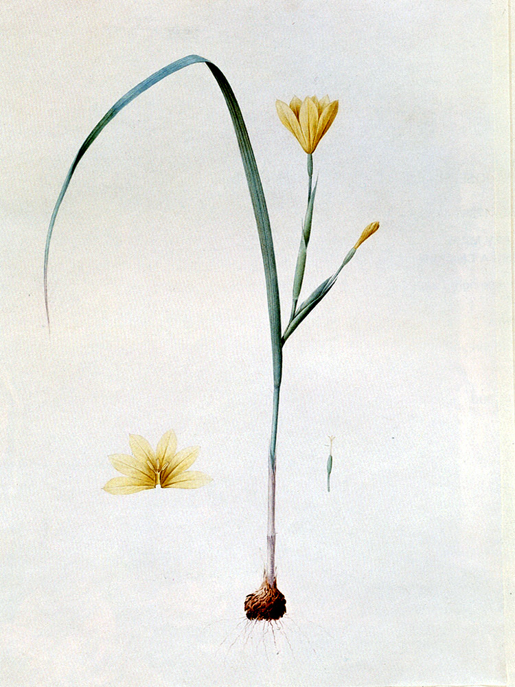 """Sisyrinchium Collinum"" by  Pierre Joseph Redoute"