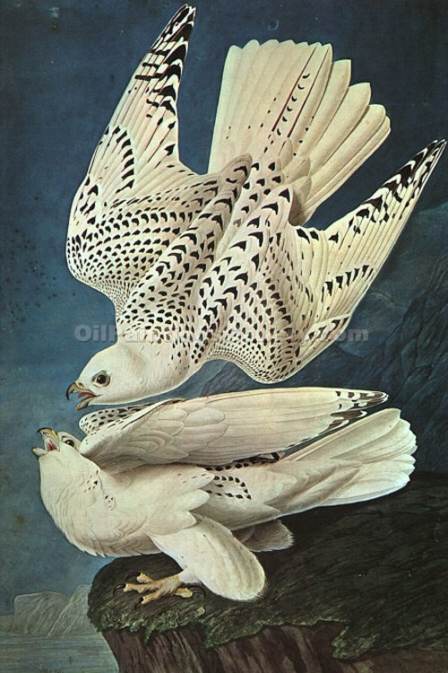 """White Gerfalcons"" by  John James Audubon"