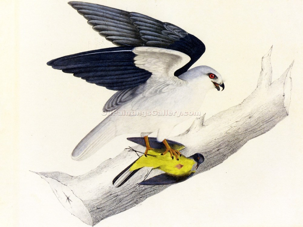 """White-tailed Kite"" by  John James Audubon"
