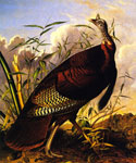 Wild Turkey by  John James Audubon (Painting ID: AN-0876-KA)