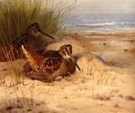 Woodcock Nesting on a Beach by  Archibald Thorburn (Painting ID: AN-0981-KA)